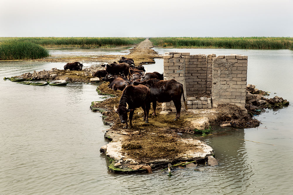 "Buffalo have found a favourite spot on a derelict ""military road"", built by Saddam Hussein to move armoured vehicles around the marshes"
