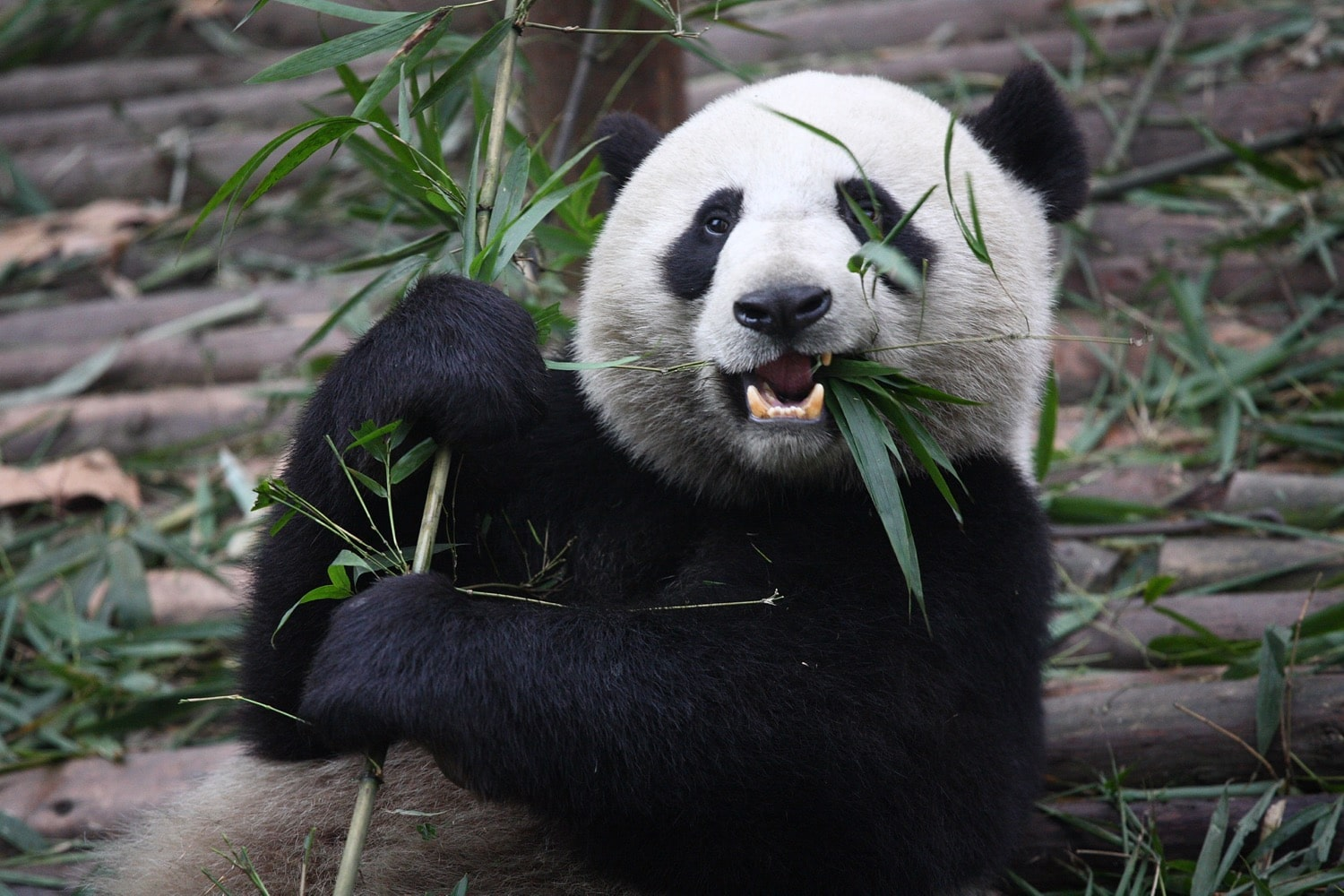 Why The Giant Panda Is A Giant Liability Delayed Gratification